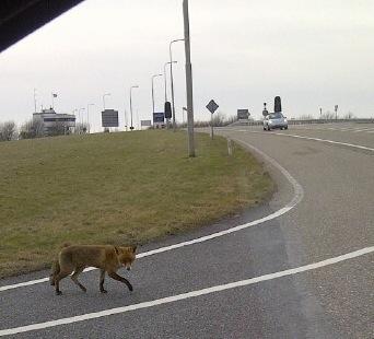 Een vos steekt over naar de bewoonde wereld van Lelystad